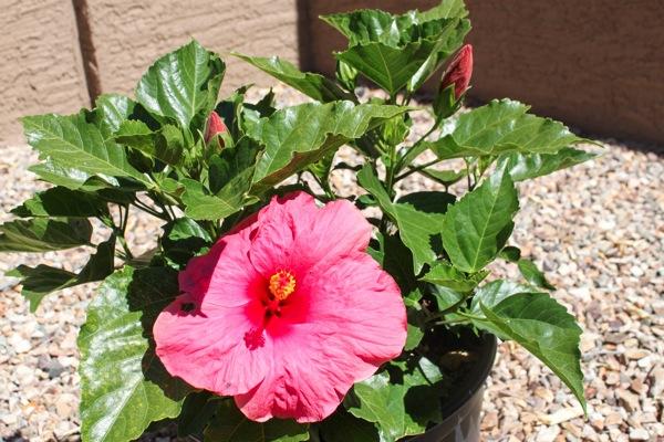 Hibiscus  1 of 1