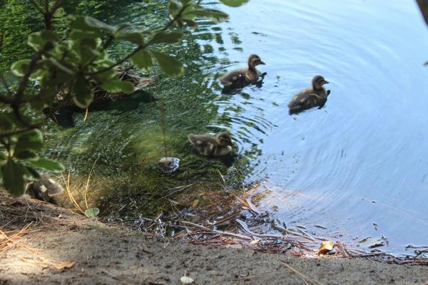 Ducks  1 of 1