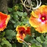 hibiscus-1-of-1.jpg