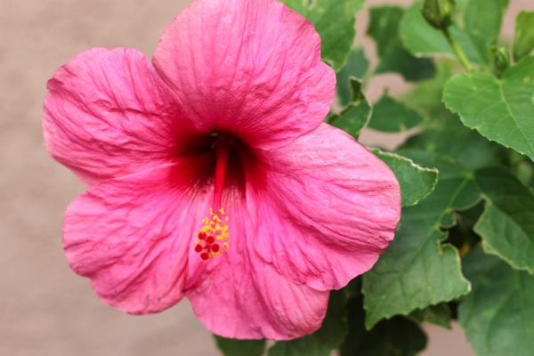 Hibiscus  1 of 1