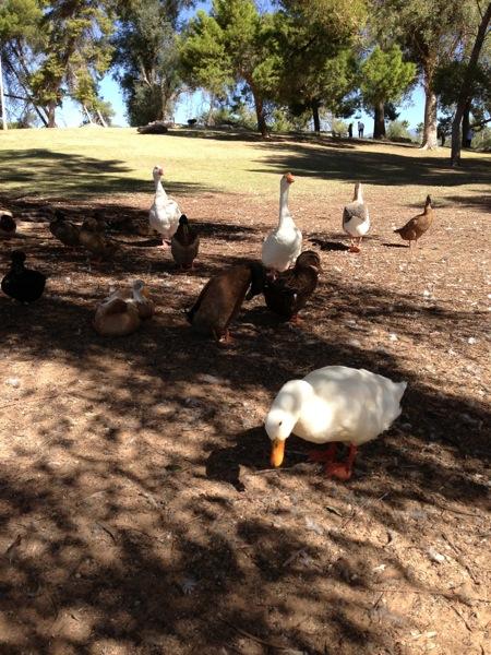 Reid ducks