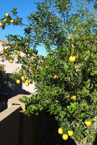 Orange tree  1 of 1