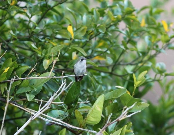 Hummingbird  1 of 1