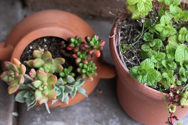 succulents and mint