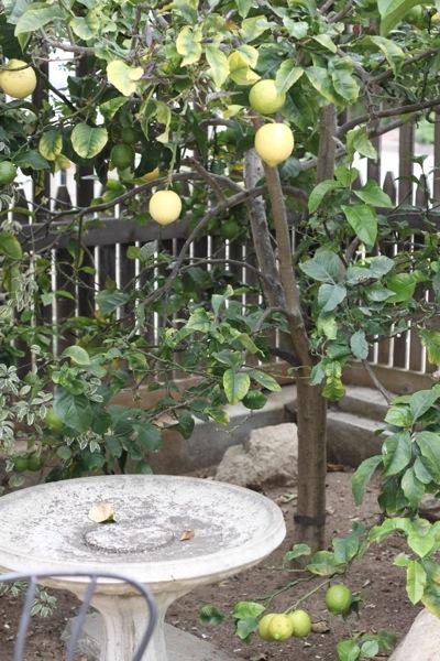 Lemons  1 of 1