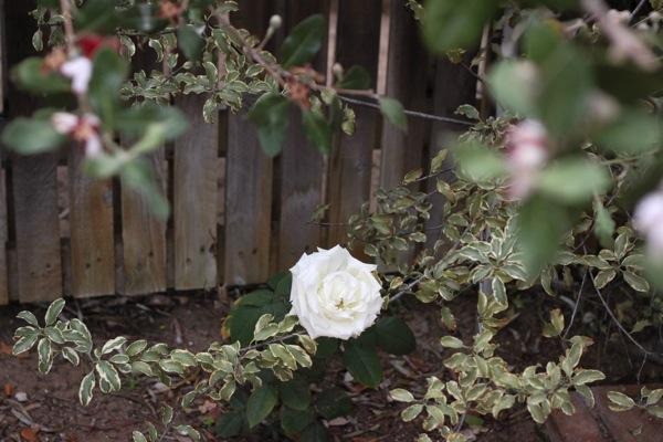 Rose  1 of 1 2