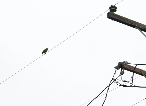 Green bird on a power line