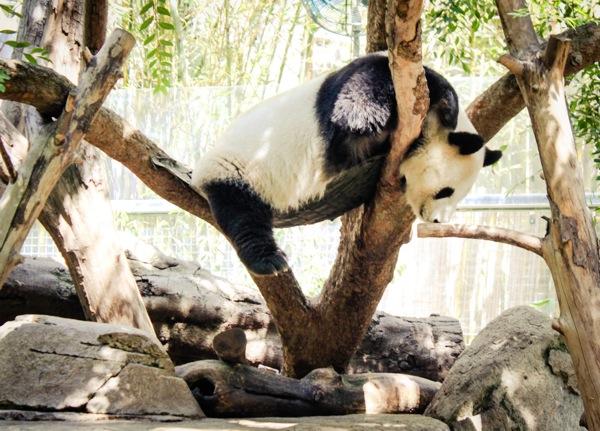Panda  1 of 1