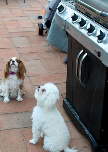 Begging dogs  1 of 1