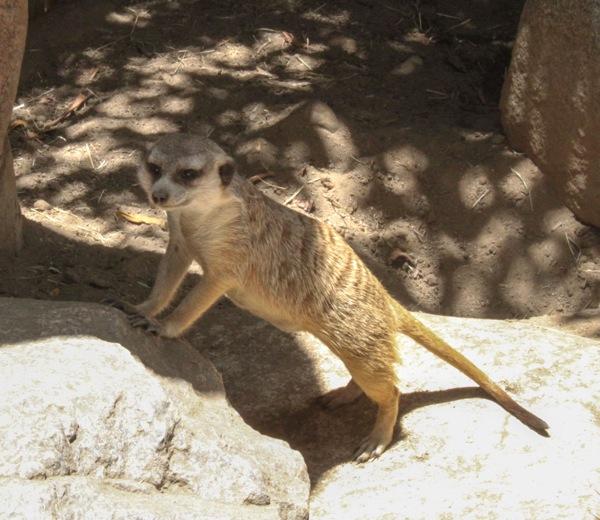 Meerkat  1 of 1