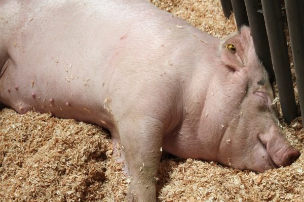 Pig  1 of 1