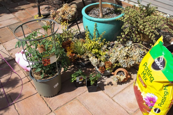 Succulents ready to plant