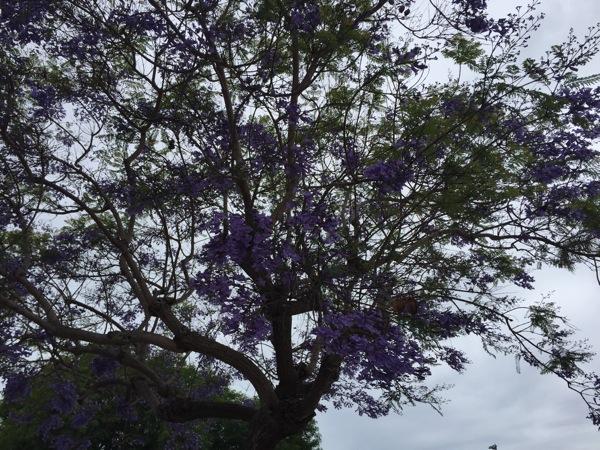 More purple trees