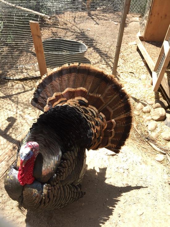 Turkeylurkey