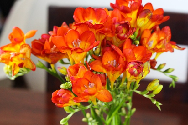 Freesia  1 of 1
