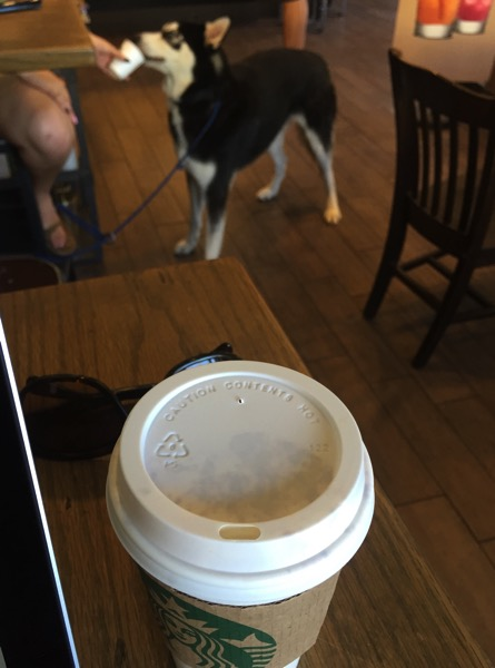 Husky drinking starbucks
