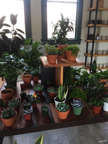 succulents galore