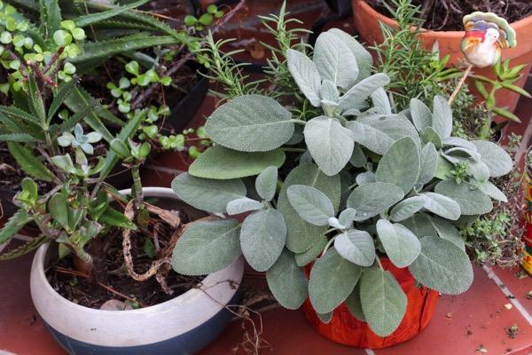 Lil turkey herbs