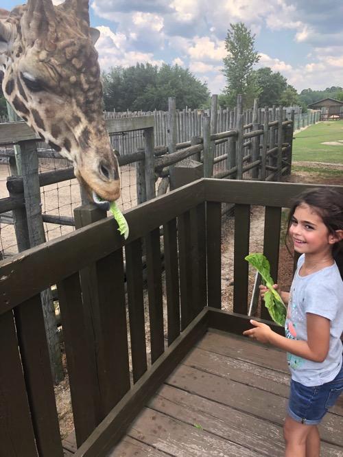 Liv feeding a giraffe