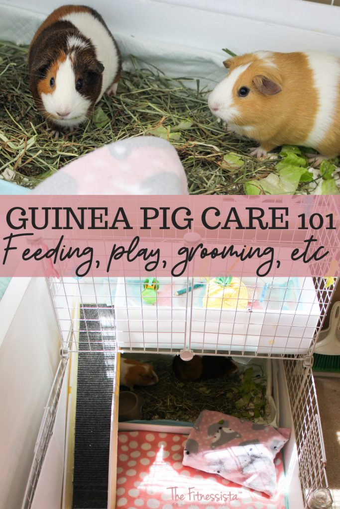 Tips for taking care of guinea pigs! Feeding, grooming, play, etc. fitnessista.com