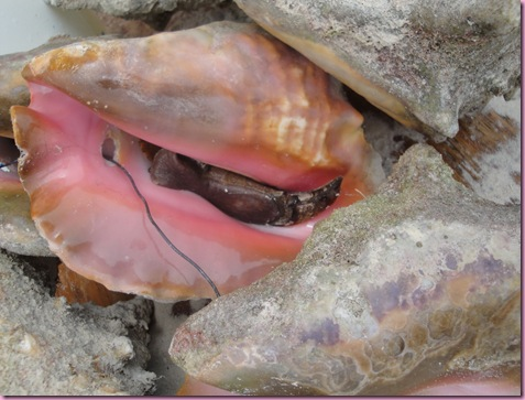 conch (2)