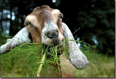goat_eating-447